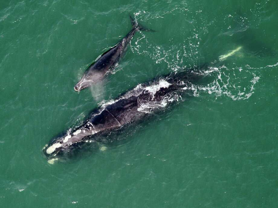 A right whale named Equator, after the white scar across her back from being entangled in fishing gear in 2008, and her calf are seen swimming on Monday offshore of Cumberland Island, Ga. The endangered right whale that Georgia wildlife biologists once freed from fishing line caught around its midsection has returned off the coast four years later with a newborn calf in tow. Whale watchers at the state Department of Natural Resources are celebrating, saying it's the first time a whale saved from entanglement in Georgia waters has come back to give birth. Photo: AP
