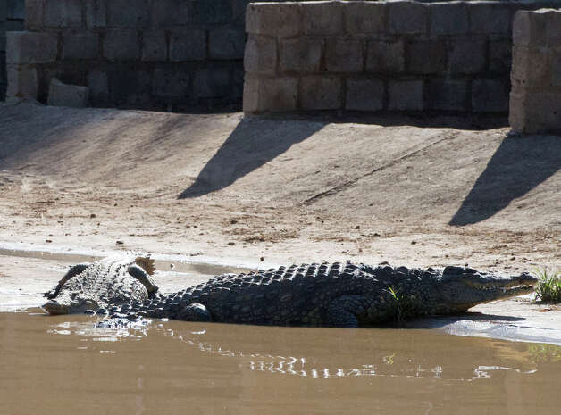 A couple of the recaptured crocodiles, shown here on the loose Wednesday, are back safely on the farm they escaped from, at Pontdrif, South Africa, near the Botswana border. About 7,000 of the creatures escaped when the gates on a dam were opened this week to alleviate pressure created by rising flood waters. About 2,000 had been recaptured Friday.  Photo: AP