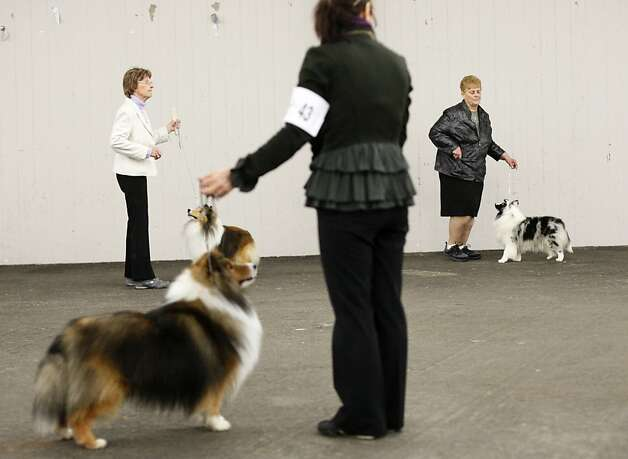 Shetland sheepdogs compete at the Golden Gate Kennel Club show at the Cow Palace in Daly City. The club divided the event into two weekend shows to maintain its franchise with the American Kennel Club. Photo: James Tensuan, The Chronicle