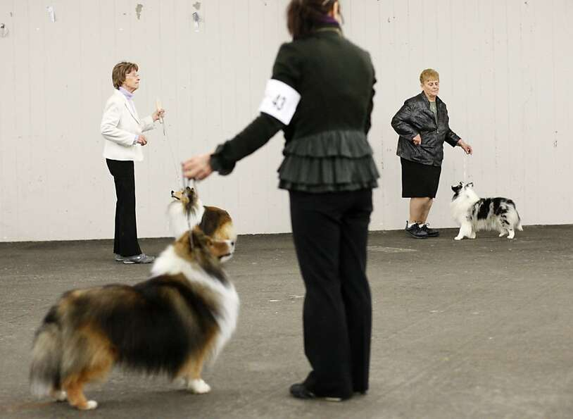 Shetland Sheepdogs and their owners partake in a competition. The annual Golden Gate Kennel show at