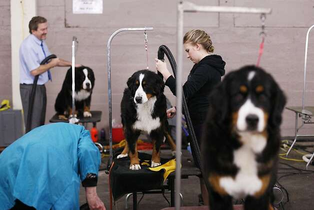 Paige Ross (center) grooms her Bernese mountain dog, Porsche, before competing. Photo: James Tensuan, The Chronicle