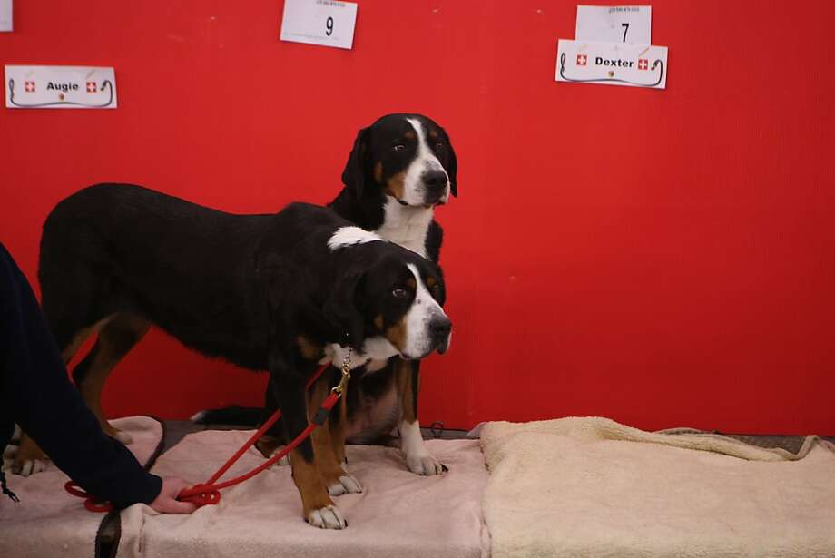 Two Bernese Mountain Dogs curiously watch people walk by during the annual Golden Gate Kennel show at the Cow Palace in San Francisco, Calif. The show attracted thousands of dog owners and their pets Sunday January 27, 2013. Longtime official Jeanne Bobbitt, who is in her 90s, still enjoys the parade. Photo: Jessica Olthof, The Chronicle