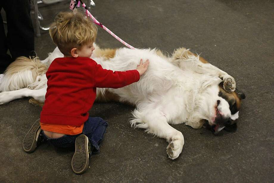 Three-year-old Sebastien Combes pets Snitch, a St. Bernard. The annual Golden Gate Kennel show at the Cow Palace in San Francisco, Calif. attracted thousands of dog lovers and their pets Sunday January 27, 2013. Longtime official Jeanne Bobbitt, who is over 90 years old, still enjoys the parade. Photo: James Tensuan, The Chronicle