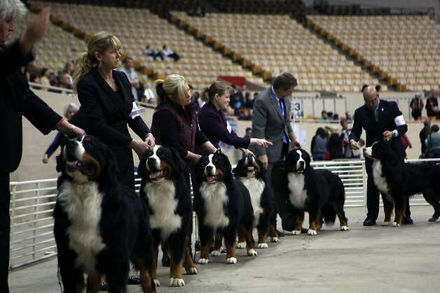 Bernese Mountain Dogs shown during the annual Golden Gate Kennel show at the Cow Palace in San Francisco, Calif. The show attracted thousands of dog owners and their pets Sunday January 27, 2013. Longtime official Jeanne Bobbitt, who is in her 90s, still enjoys the parade. Photo: Jessica Olthof, The Chronicle