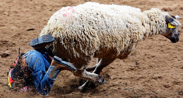 Colton Mueller falls off a sheep during the mutton bustin' event at the San Antonio Stock Show & Rodeo at the AT&T Center on Feb. 2, 2008. Photo: Edward A. Ornelas, San Antonio Express-News