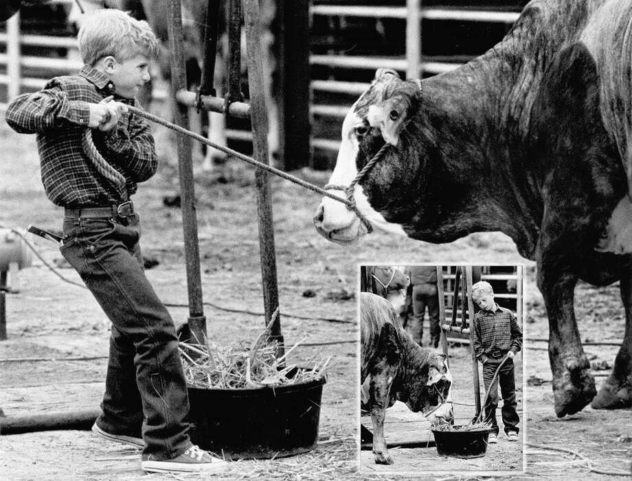 A young livestock show participant feeds his entry at the San Antonio Stock Show & Rodeo in this undated photo. Photo: San Antonio Express-News File Photo