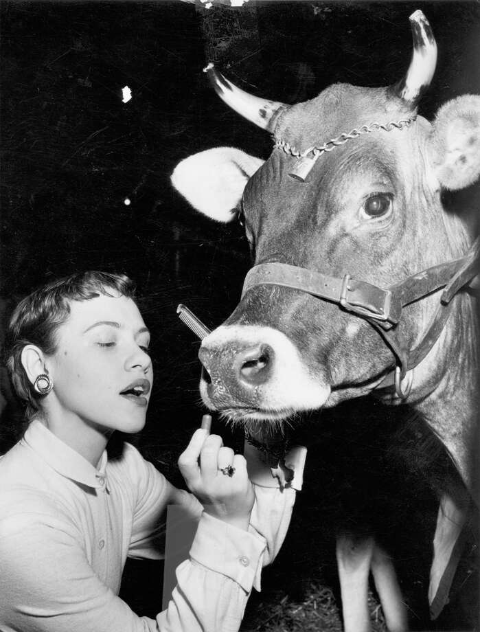 A livestock show participant beautifies her entry at the San Antonio Stock Show & Rodeo in this undated photo. Photo: San Antonio Express-News File Photo
