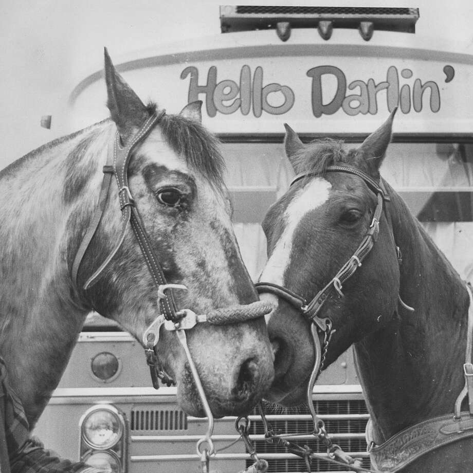 Horses snuggle at the San Antonio Stock Show & Rodeo on Feb. 12, 1971. Photo: San Antonio Express-News File Photo