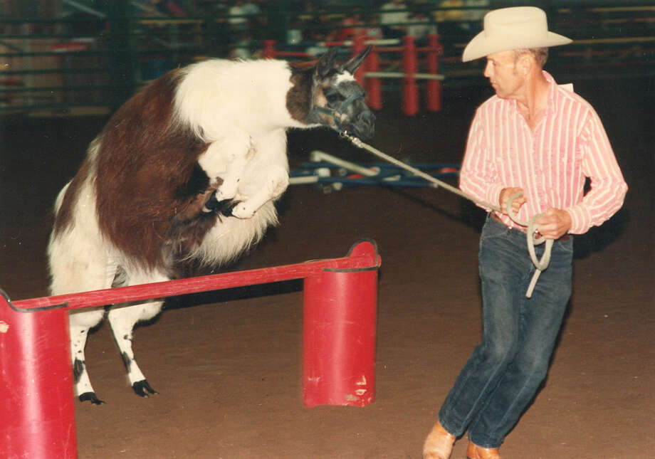 David Allen of New Tracks Ranch in Kyle leads Fortunatos Royal Legend the llama over a hurdle as part of an obstacle course during the llama show at the San Antonio Stock Show & Rodeo on Feb. 14, 1990. Photo: San Antonio Express-News File Photo