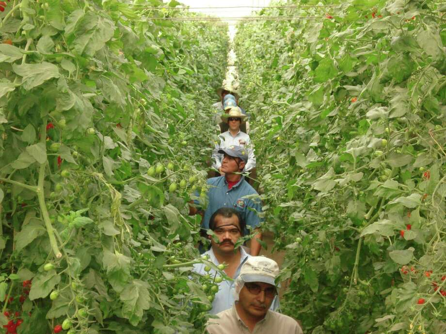 Desert Glory's NatureSweet employees at a tomato farm outside Guadalajara, Mexico, walk through a row of cherry-on-the-vine tomatoes this year. Desert Glory officials say the company produces 80 percent of the cherry tomatoes consumed in the United States. Photo: COURTESY PHOTO