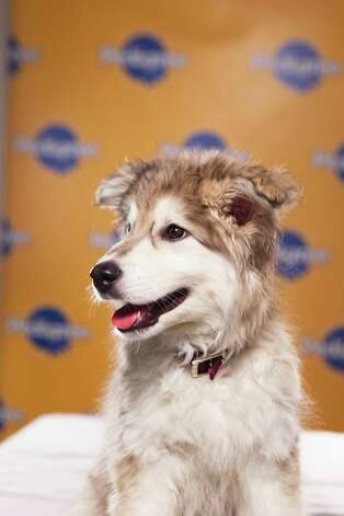 Name: Aurora Breed(s): Siberian Husky/Retriever mix 