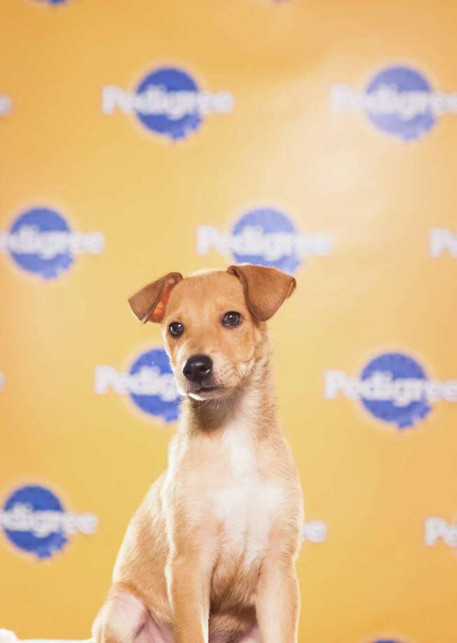 """Name: ButterscotchBreed(s): Puerto Rican SatoSex: FemaleAge: 12 weeksFun Fact: Rescued off of a beach in Puerto Rico called """"Dead Dog Beach""""Adoption Organization: The Sato Project Photo: Adele Godfrey, Animal Planet"""