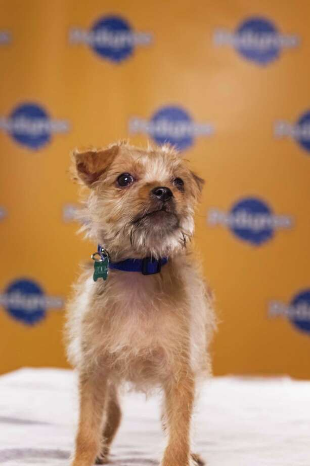 Name: BlitzBreed(s): Terrier mix Sex: Female Age: 11 weeks  Fun Fact: Rode a plane, subway, AND a taxi in 24 hours Adoption Organization: SPCALA Photo: Adele Godfrey, Animal Planet