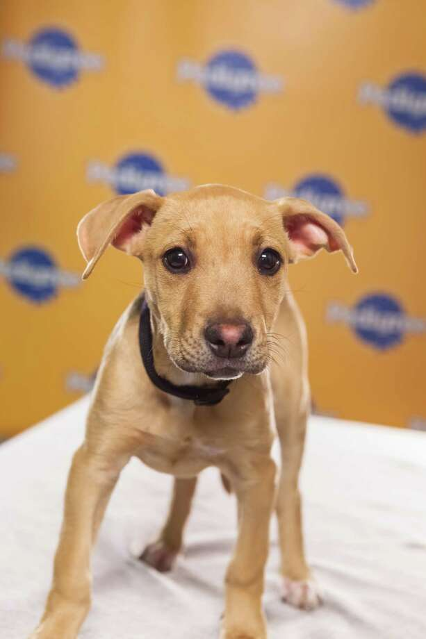 Name: JennyBreed(s): Pit Bull/Hound mix Sex: Female Age: 13 weeks  Fun Fact: A very sweet girl Adoption Organization: Pitty Love Rescue Photo: Adele Godfrey, Animal Planet