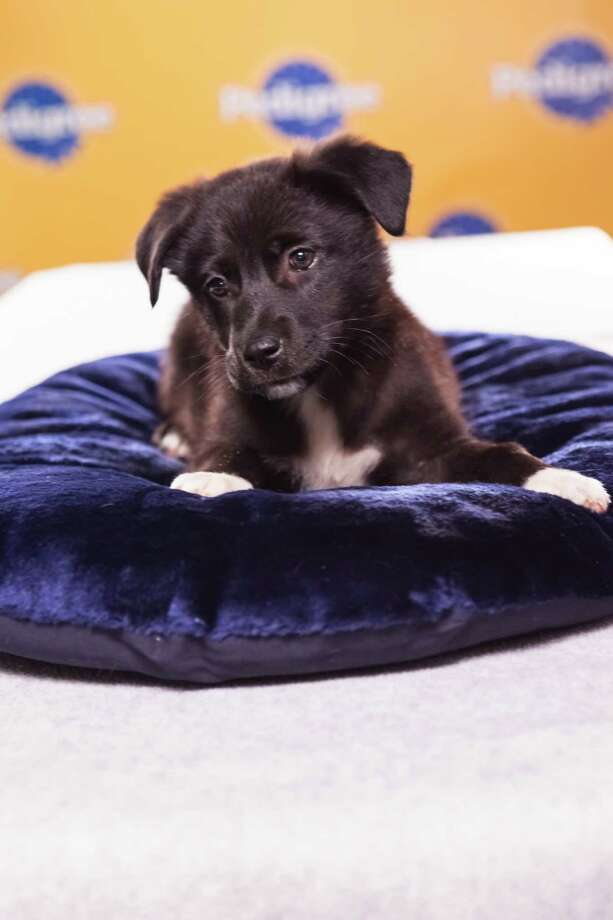 Name: Magnolia Breed(s): Chow Chow/Labrador Retriever mix Sex: Female Age: 11 weeks  Fun Fact: Is very faithful and independent Adoption Organization: Harley's Haven Rescue Photo: Adele Godfrey, Animal Planet