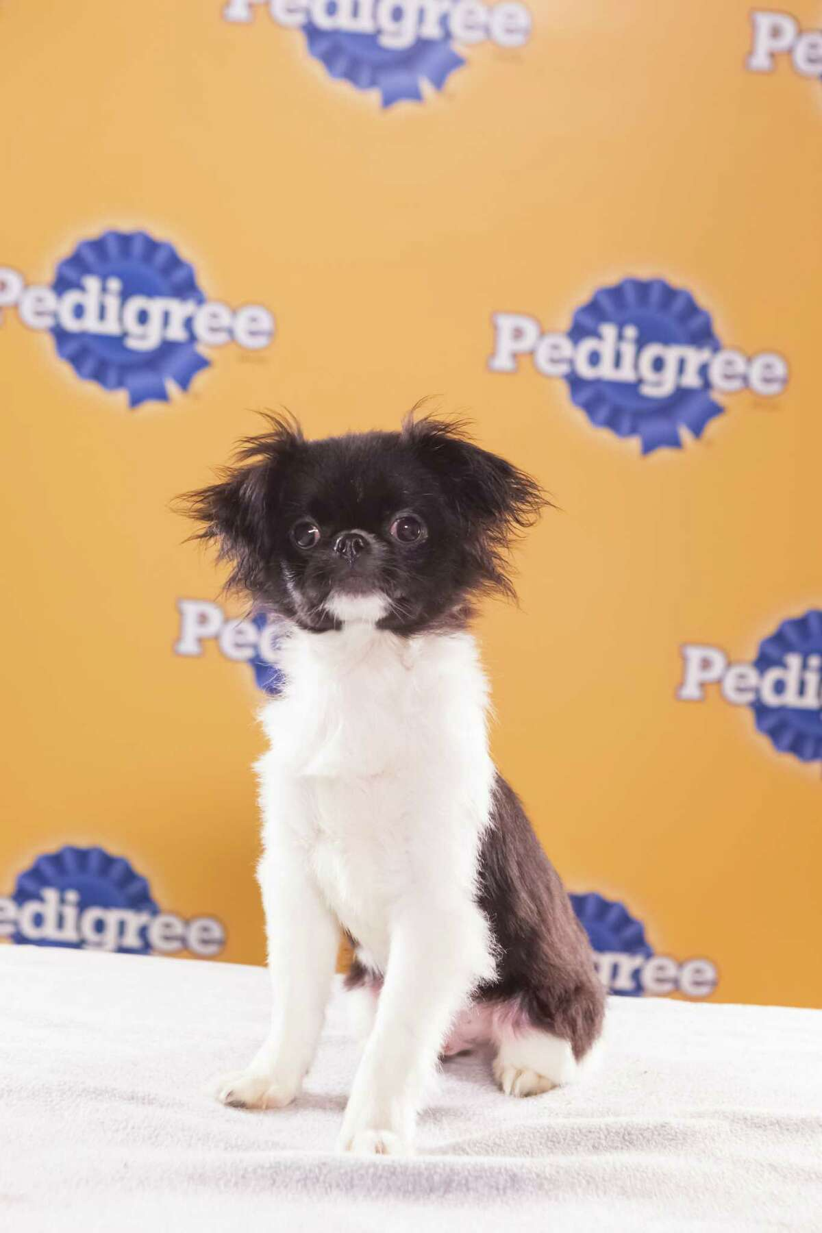 Name: SimbaBreed(s): Japanese Chin Sex: Male Age: 8 weeks Fun Fact: Very playful and confident with other dogs Adoption Organization: Tails of Love Animal Rescue
