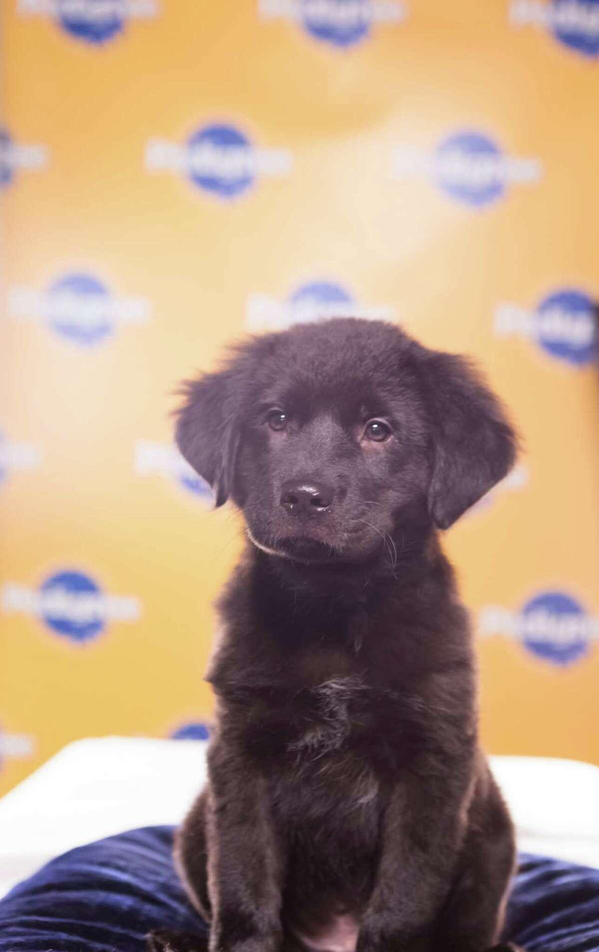 Name: ShadowBreed(s): Catahoula/Labrador Retriever mix Sex: Male Age: 9 weeks Fun Fact: He is a really soft super snuggler Adoption Organization: Bonnie Blue Rescue