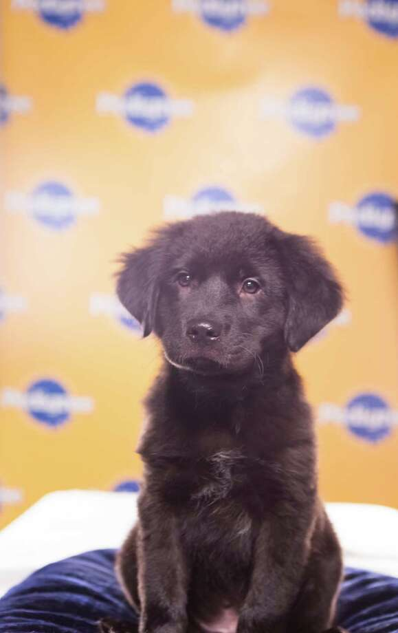 Name: Shadow Breed(s): Catahoula/Labrador Retriever mix