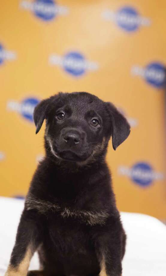 Name: Tuck Breed(s): German Shepherd/Pit mix Sex: Male Age: 10 weeks  Fun Fact: The only black pup in his litter of 6 Adoption Organization: Bergen County Animal Shelter Photo: Adele Godfrey, Animal Planet
