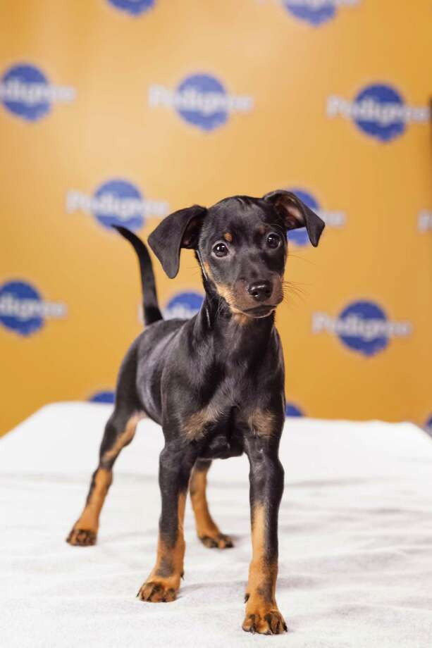 Name: Winston Breed(s): Miniature Pinscher Sex: Male Age: 9 weeks  Fun Fact: The cutest of the litter and one of the hungriest Adoption Organization: IMPS (Internet Miniature Pinscher Services) Photo: Adele Godfrey, Animal Planet