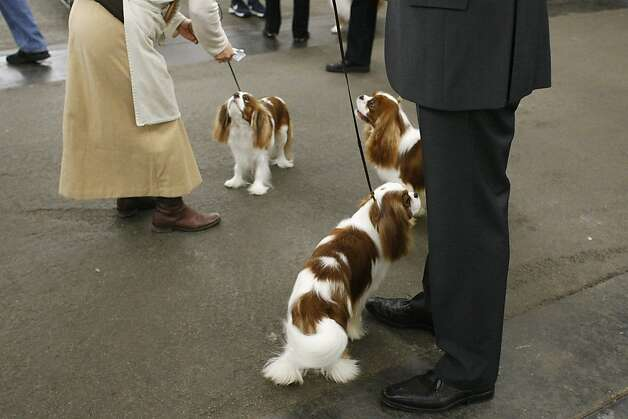 A trio of King Charles Spaniels look at their owners prior to competing. The annual Golden Gate Kennel show at the Cow Palace in San Francisco, Calif. attracted thousands of dog lovers and their pets Sunday January 27, 2013. Longtime official Jeanne Bobbitt, who is over 90 years old, still enjoys the parade. Photo: James Tensuan, The Chronicle