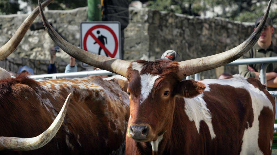 Thirty five Longhorn cattle wait to be put on a trailer after they were driven down Houston Street to Alamo Plaza in 2008. Photo: Bob Owen, SAN ANTONIO EXPRESS-NEWS / SAN ANTONIO EXPRESS-NEWS