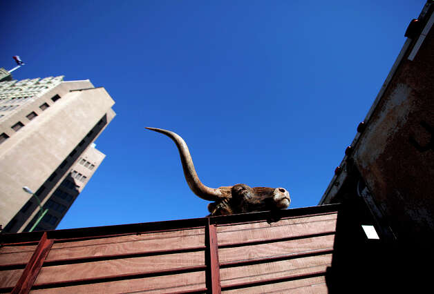 A Longhorn makes its way up into a trailer after the cattle drive in 2010. Photo: Kin Man Hui, SAN ANTONIO EXPRESS-NEWS / San Antonio Express-News
