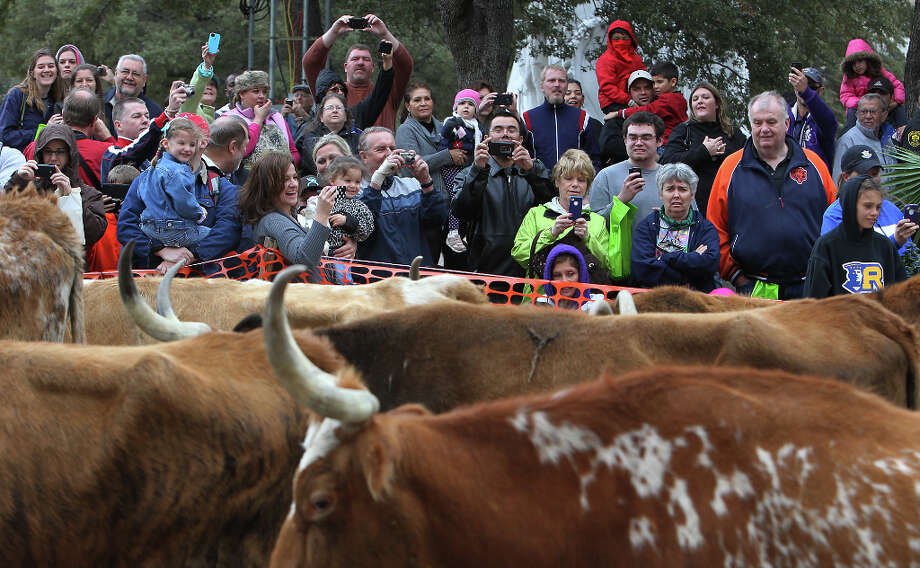 Onlookers snap pictures and watch several head of Longhorn stroll down Houston Street in 2012. Photo: Kin Man Hui, San Antonio Express-News / San Antonio Express-News