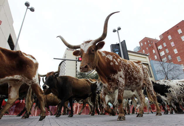 A longhorn steer becomes curious of cameras along Houston Street in 2012. Photo: Kin Man Hui, San Antonio Express-News / San Antonio Express-News