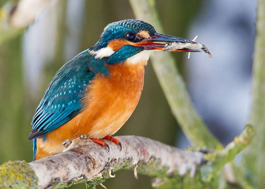 A kingfisher lives up to his namein the Oderbruch swamp near Mallnow, Germany. Photo: Patrick Pleul, AFP/Getty Images