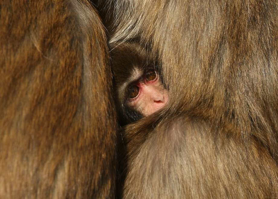 Monkey in the middle:Japanese macaques squeeze together for warmth at Awajishima Monkey Center during a severe cold spell in Sumoto, Japan. Photo: Buddhika Weerasinghe, Getty Images