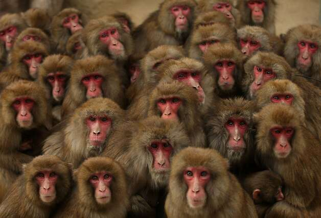 Everyone here? Good. Then let's get down to monkey business: Japanese macaques gather together for warmth in Sumoto, Japan, which was still in the grip of a frigid Arctic air mass. Photo: Buddhika Weerasinghe, Getty Images