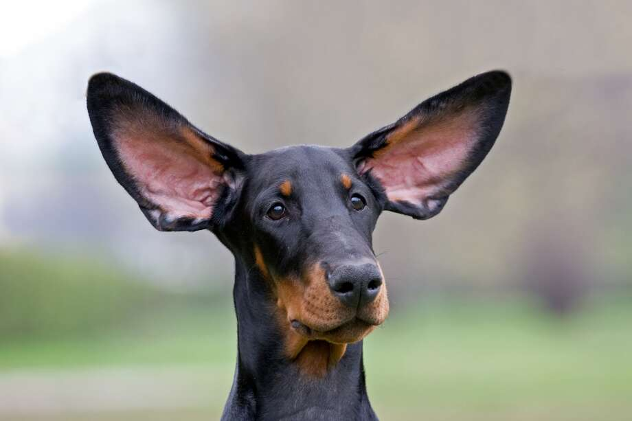 Bow-LingualWhat did that dog just say to me? Now you can find out, with Bow-Lingual, which promises to interpret your dog's barks and lets you know if Fido is feeling happy, sad, frustrated or lonely. There's even a home alone feature. You'll want to read the Amazon reviews. Photo: Unknown, Fotolia