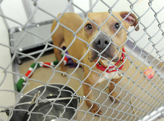 One of four adult pit bulls that were seized from a U-Haul truck in Colonie Saturday at the Mohawk & Hudson River Humane Society on Monday Jan. 28, 2013 in Menands, N.Y.  (Lori Van Buren / Times Union) Photo: Lori Van Buren