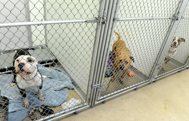 Three of four adult pit bulls that were seized from a U-Haul truck in Colonie Saturday at the Mohawk & Hudson River Humane Society on Monday Jan. 28, 2013 in Menands, N.Y.  (Lori Van Buren / Times Union) Photo: Lori Van Buren