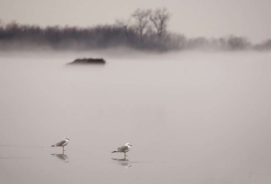 A pair of gulls stand on a thin sheet of ice Monday Jan. 28, 2013, on the Mississippi River near Alt