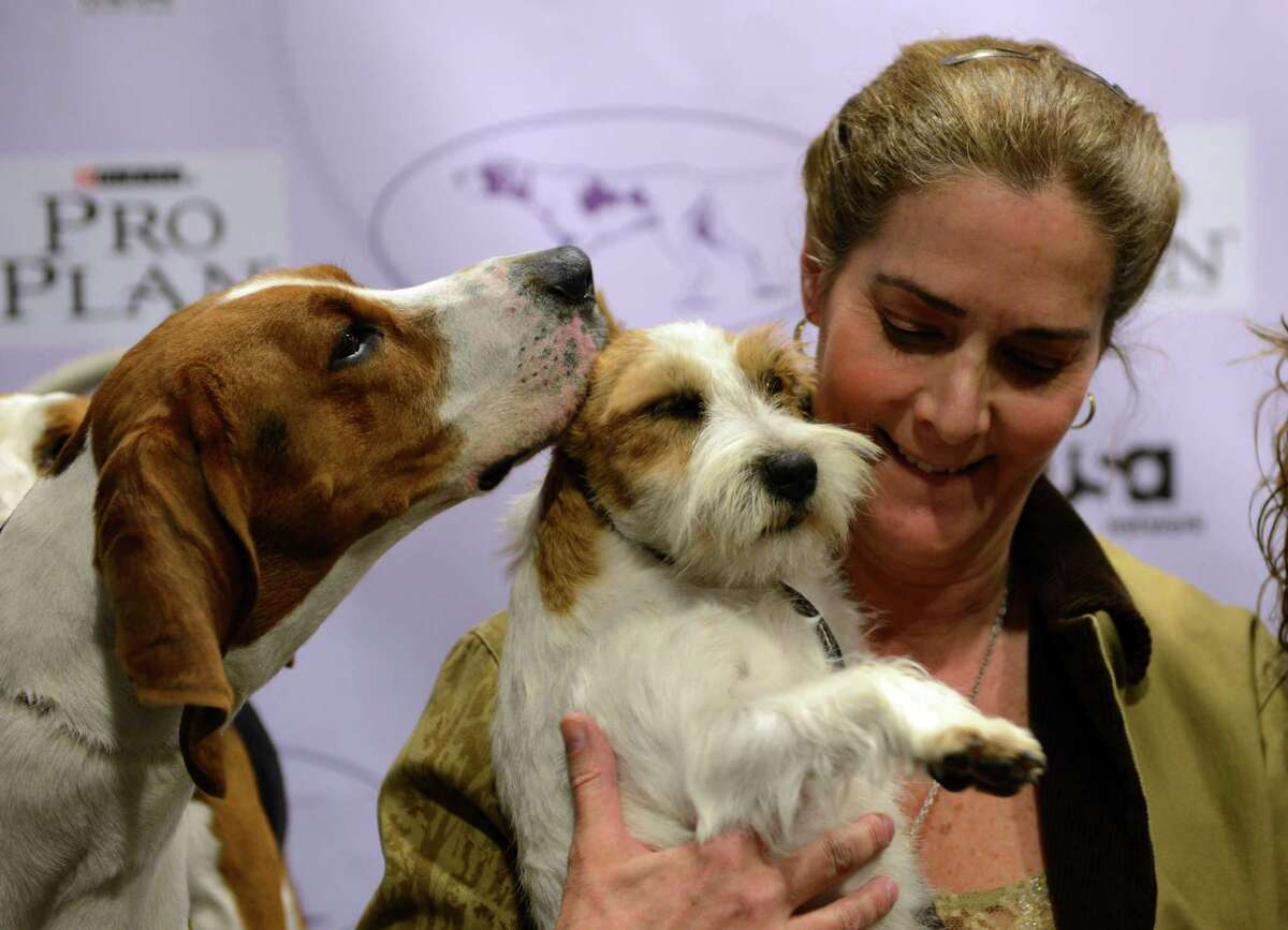 Meg (L) a Treeing Walker Coonhound, kisses Turbo (C) a Russell Terrier held by owner Candace Lundin during a press conference January 28, 2013 by The Westminster Kennel Club to introduce the two new breeds that will compete in the 137th annual Westminster Dog Show in New York. The show which will take place February 11-12. AFP PHOTO/Stan HONDASTAN HONDA/AFP/Getty Images