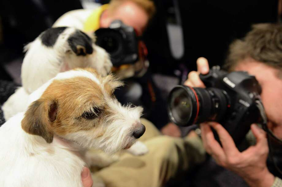 Madison (front) and Pepper (rear), two Russell Terriers, pose before a press conference January 28, 2013 by The Westminster Kennel Club to introduce two new breeds that will compete in the 137th annual Westminster Dog Show in New York. Treeing Walker Coonhounds will be the second new breed to compete in the show which will take place February 11-12. AFP PHOTO/Stan HONDASTAN HONDA/AFP/Getty Images Photo: STAN HONDA, AFP/Getty Images / AFP