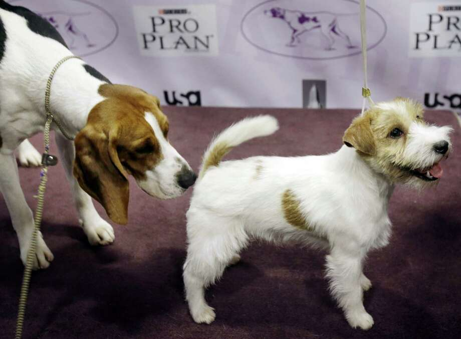 The two new breeds eligible to compete in the  Westminster Kennel Club Dog Show, the Treeing Walker Coonhound, left, and the Russell Terrier, make each other's acquaintance during a news conference in New York, Monday, Jan. 28, 2013. The 137th show is scheduled to run for two days starting on Feb. 11. Photo: Seth Wenig, AP / AP