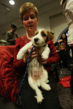 NEW YORK, NY - JANUARY 28:  Jett, a Russell Terrier, is held by Betty Campbell at a press conference for the 137th Annual Westminster Kennel Club Dog Show on January 28, 2013 in New York City.  This year's event will feature two new breeds, Treeing Walker Coonhounds and Russell Terriers and will take place February 11 and 12. Photo: Mario Tama, Getty Images / 2013 Getty Images