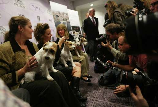 NEW YORK, NY - JANUARY 28:  Russell Terriers are held for photographers at a press conference for the 137th Annual Westminster Kennel Club Dog Show on January 28, 2013 in New York City.  This year's event will feature two new breeds, Treeing Walker Coonhounds and Russell Terriers and will take place February 11 and 12. Photo: Mario Tama, Getty Images / 2013 Getty Images