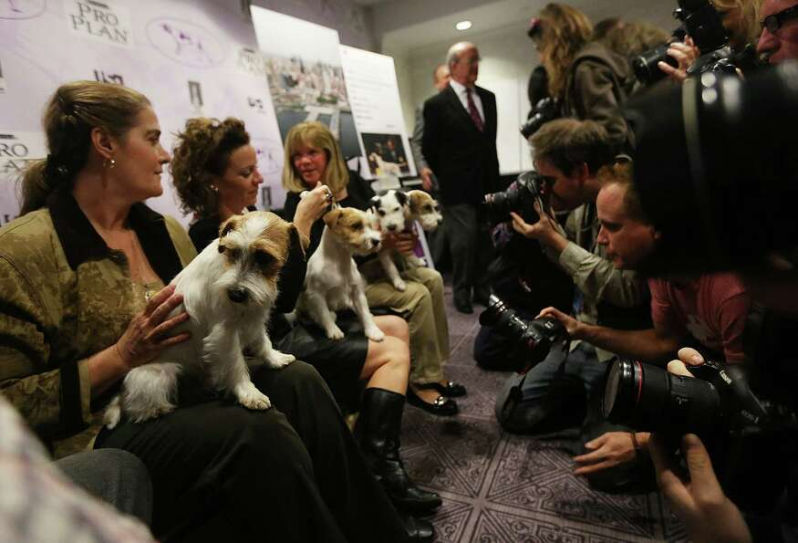 NEW YORK, NY - JANUARY 28:  Russell Terriers are held for photographers at a press conference for th