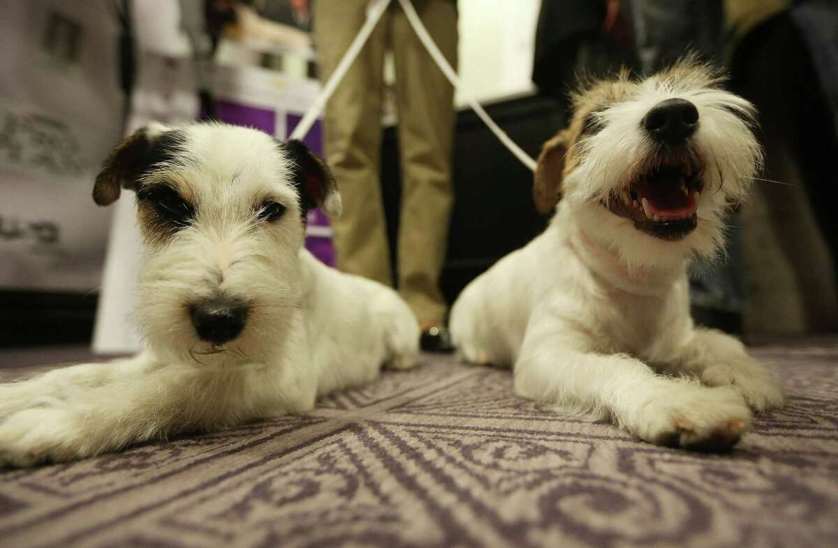 NEW YORK, NY - JANUARY 28: Russell Terriers Pepper (L) and Madison sit on the floor at a press conference for the 137th Annual Westminster Kennel Club Dog Show on January 28, 2013 in New York City. This year's event will feature two new breeds, Treeing Walker Coonhounds and Russell Terriers and will take place February 11 and 12.