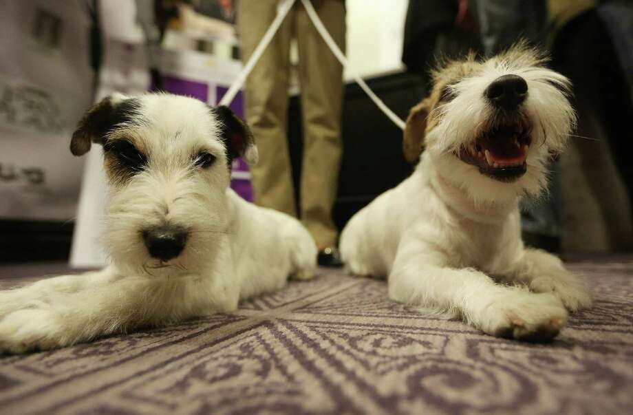 NEW YORK, NY - JANUARY 28:  Russell Terriers Pepper (L) and Madison sit on the floor at a press conference for the 137th Annual Westminster Kennel Club Dog Show on January 28, 2013 in New York City.  This year's event will feature two new breeds, Treeing Walker Coonhounds and Russell Terriers and will take place February 11 and 12. Photo: Mario Tama, Getty Images / 2013 Getty Images