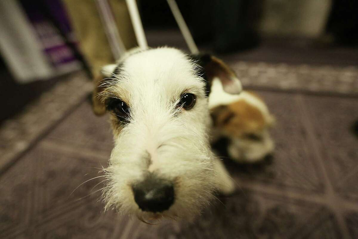 NEW YORK, NY - JANUARY 28: Russell Terrier Pepper stands at a press conference for the 137th Annual Westminster Kennel Club Dog Show on January 28, 2013 in New York City. This year's event will feature two new breeds, Treeing Walker Coonhounds and Russell Terriers and will take place February 11 and 12.