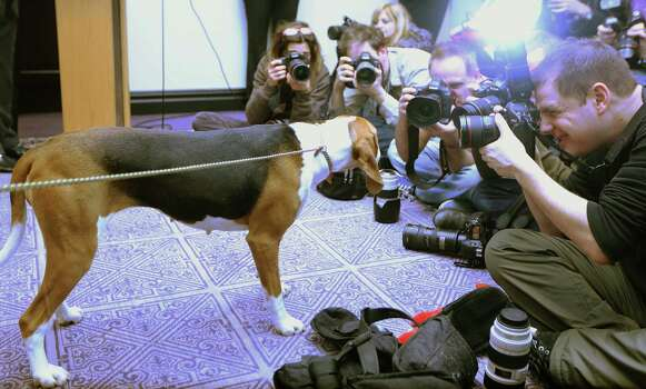NEW YORK, NY - JANUARY 28:  A Treeing Walker Coonhound looks at photographers at a press conference for the 137th Annual Westminster Kennel Club Dog Show on January 28, 2013 in New York City.  This year's event will feature two new breeds, Treeing Walker Coonhounds and Russell Terriers and will take place February 11 and 12. Photo: Mario Tama, Getty Images / 2013 Getty Images