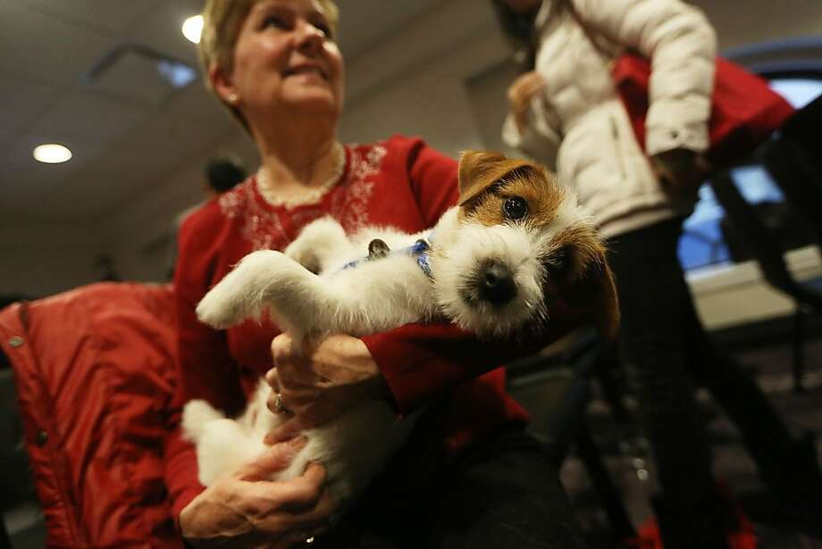 He (she?) could be the next Uggie: Besides Treeing Walker Coonhounds, this year's Westminster Kennel Club Dog Show will also feature for the first time Russell Terriers, including the lap-surfing Jett here. Photo: Mario Tama, Getty Images