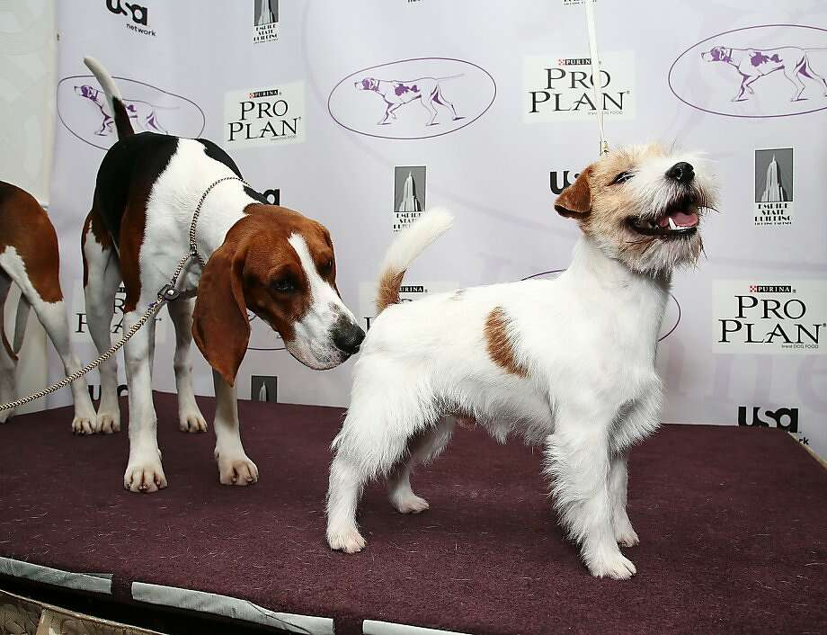 Have we met before? I never forget a face:Tank the Treeing Walker Coonhound gets acquainted with Legs the Russell Terrier at The Westminster Kennel Club in New York. Photo: Astrid Stawiarz, Getty Images