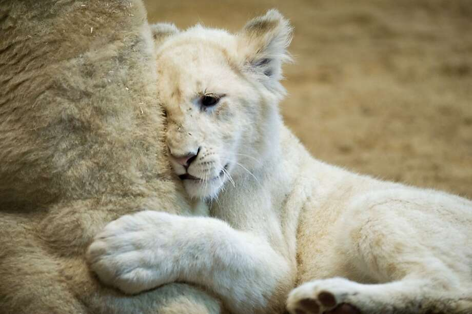 What is that thing?A 6-month-old white lion cub of the Circus Krone cozies up against … its mother? A plushy toy? Polar bear? Rolled-up rug? The photographer isn't telling. (Munich.) Photo: Victoria Bonn-Meuser, Associated Press