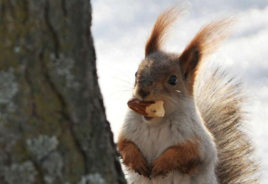 When the going gets tough, the tufted get nuts. You can't survive the winter in Bishkek, Kyrgyzstan, without an ample supply of acorns. Photo: Vyachslav Oseledko, AFP/Getty Images